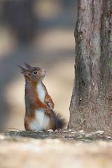 Red squirrel (Andy Davis Photography) Tags: redsquirrel sciurusvulgaris squirrel pines trees canopy mammal canon