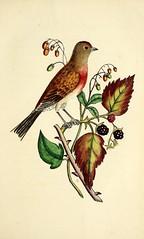 birds cagebirds taxonomy:common=linnet popularworks bhl:page=47512140 dc:identifier=httpbiodiversitylibraryorgpage47512140 fieldmuseumofnaturalhistorylibrary taxonomy:trinomial=fringillalinariacannabina