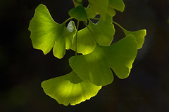 Ginkgo Leaves (brucetopher) Tags: fern green leaves catchycolors fossil leaf ginkgo ancient capecod massachusetts 7d brewster healing ginko greenleaf permian ginkgotree ancienttree livingfossil pliocene ginkgoleaf ginkgoleaves canon7d brucetopher blushandbottlegreen