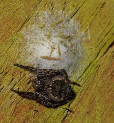 Walnut Orb Weaver - Nuctenea Umbratica (alf.branch) Tags: macro closeup spider nest arachnid flash sigma olympus nucteneaumbratica sigma105f28 walnutorbweaver nissindi466 olympusomdem1