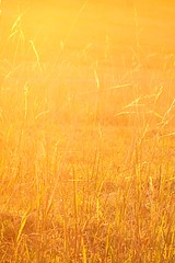 Golden Grass (Lincoln Beddoe) Tags: field grass rural afternoon farm wheat warmth straw hay eveninglight paddock lateafternoon goldenlight goldengrass farmscape portmacquariephotographer portmacquarieartist