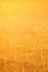 Golden Grass (Lincoln Beddoe) Tags: field grass rural afternoon farm wheat warmth straw hay eveninglight paddock lateafternoon goldenlight goldengrass farmscape portmacquariephotographer portmacquarieartist
