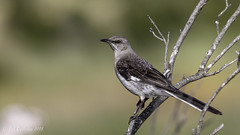 Northern Mockingbird (Bob Gunderson) Tags: california birds northerncalifornia northernmockingbird southbay mimuspolyglottos santaclaracounty shorelinelake canoneos7dmarkii