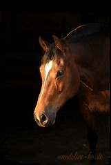 image007 (barbara.heim) Tags: light portrait horse animal cheval natural availablelight naturallight pferd haustier equine tier montagnes hintergrund schwarzer franches equinephotogrphy