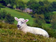 Lose Hill, Derbyshire (Oxfordshire Churches) Tags: uk england mountains sheep unitedkingdom derbyshire peakdistrict hills panasonic lambs nationalparks nationaltrust peakdistrictnationalpark losehill mft micro43 microfourthirds lumixgh3 johnward