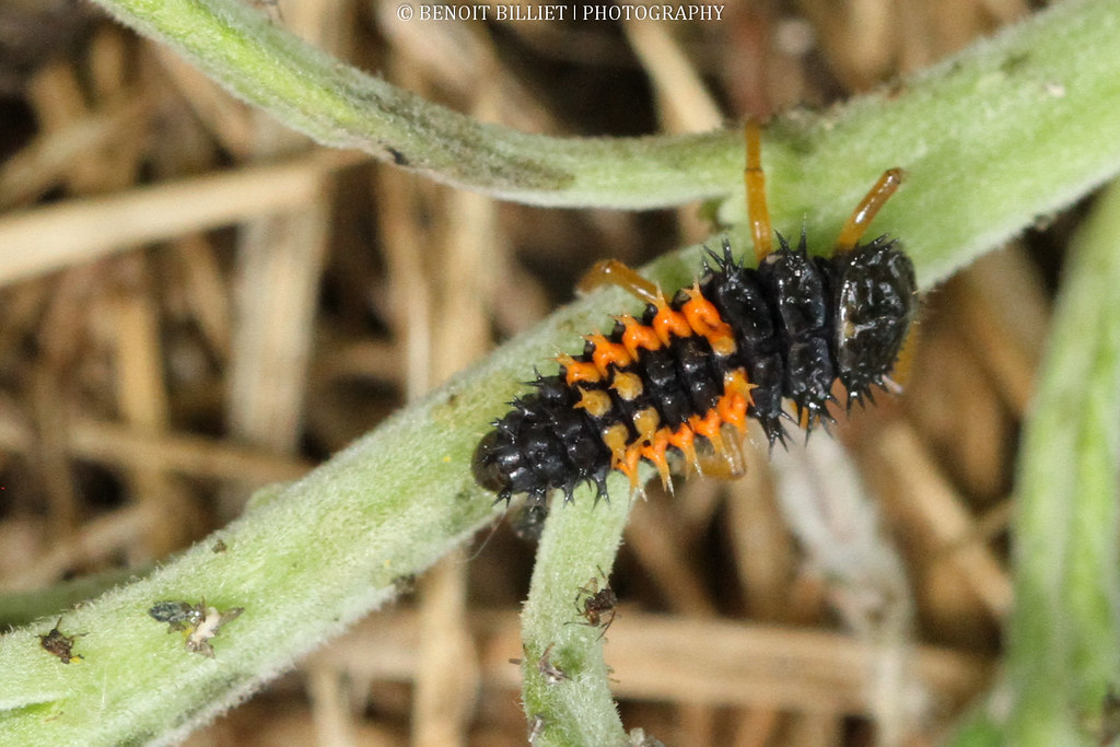 The world 39 s best photos of lady and larva flickr hive mind - Larve de coccinelle ...