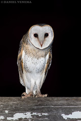 Eastern Barn Owl (danielvenema) Tags: bird nature animal night barn wildlife scenic australia raptor owl queensland prey rim eastern tyto delicatula