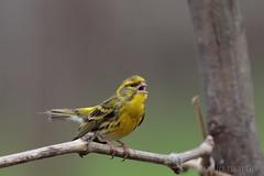 Milheirinha (AMPMartins) Tags: aves