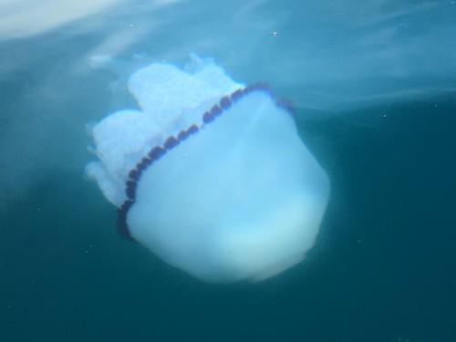Medusa nel Mar Ligure
