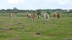 Meine Schutzbefohlenen jungen Kühe  (Bos primigenius taurus); Norderstapel, Stapelholm (3) (Chironius) Tags: stapelholm norderstapel schleswigholstein deutschland germany allemagne alemania germania германия niemcy tier landwirtschaft nops landschaft rind