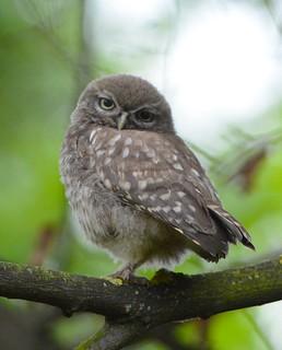 Juvenile Little Owl   Athene Noctua