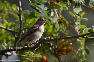 Sparrow in tree