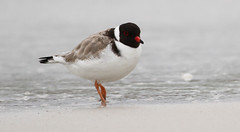 Hooded Plover (Thinornis rubricollis) (George Wilkinson) Tags: wild beach canon bay australia dorset 7d tasmania plover binalong 400mm wader dotterel thinorniscucullatus thinornisrubricollis