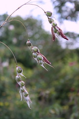 pods (janet jeffery) Tags: flower seeds