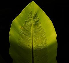 leaf (Gdemiceu) Tags: madrid espaa plants naturaleza verde green hoja texture textura nature leaves leaf spain flora plantas jardnbotnico 100faves nervs world100f canon7d