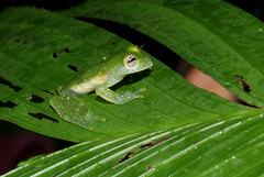 Speckled Glass Frog (zimbart) Tags: costarica centralamerica fauna amphibians anura frogs arenaloasisnightwalk lafortuna
