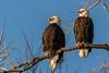 Loving Couple (MelRoseJ) Tags: dorris california unitedstates nature sonyalpha sal70400g sony sonyilca77m2 a77ii alpha autofocus birds baldeagle klamathwildliferefuge