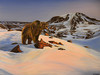 Grizzly, Grizzly (Shannon L. Castor) Tags: grizzlybear oilpainting bear art painting wildlife wildlifepainting snow winter mountain rocks shannoncastor