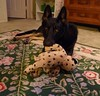 Willow & Her Cheetah (Room With A View) Tags: toy willow dog gsd maryland odc carpet