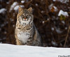 Curious Visitor!! (Doreen Bequary) Tags: bobcat cat bigcat winterscene animal afs200500mm d500 snow carnivore newengland