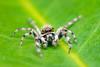 Jumping Spider (BP Chua) Tags: spider animal insect wild photography micro macro closeup nikon 105mm