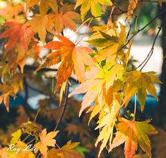 IMG_1659 (CBR1000RRX) Tags: 650d canon taiwan travel tourist landscape maple leaf autumn