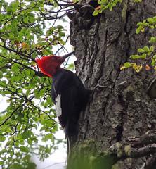 Magellanic Woodpecker (Craigs Travels) Tags: magellanicwoodpecker campephilusmagellanicus birding tierradelfuegonationalpark ushuaia argentina southamerica woodpecker carpinterogigante