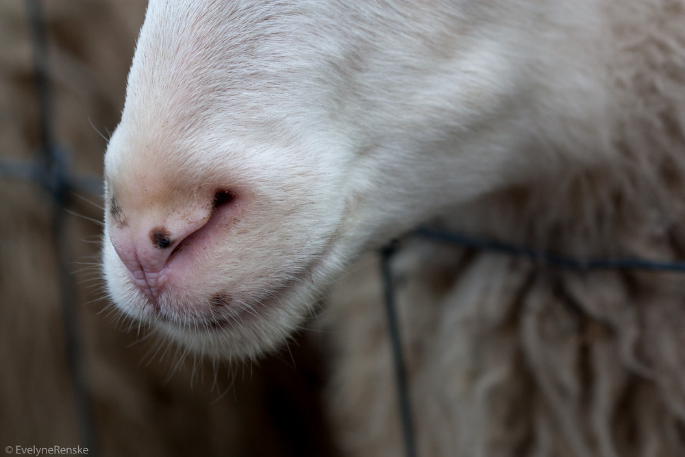 The worlds best photos of nose and sheep flickr hive mind sheep nose evelynerenske tags sheep nose macro closeup sciox Images