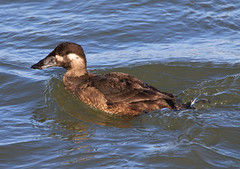 Surf Scoter Hen (Melanitta perspicillata) (Kayak Steve) Tags: surfscoter scoter sea seabirds sealife seaduck duck bird birds barnegatbay nature animal animals avians newjersey nj