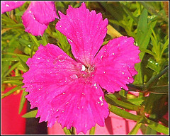 Pink Dianthus Plant .. (** Janets Photos **) Tags: uk plants flora flowers pink closeups dianthus