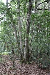 Native Crabapple (Schizomeria ovata) (Poytr) Tags: arfp nswrfp qrfp sydneyrainforest warmtemperatearf warmtemperaterainforest smithscreek kuringgaichasenationalpark schizomeriaovata schizomeria cunoniaceae nativecrabapple outdoor landscape tree forest plant