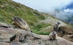 marmots (welenna) Tags: alpen alps animals tiere marmot murmeltier saasfee berge mountains mountain wallis