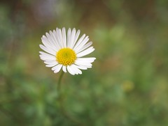 Spring flower (ekaterina alexander) Tags: spring flower daisy bloom ekaterina england alexander sussex wild flowers nature photography pictures
