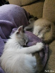 Sleeping Kitties (Marta Hyun) Tags: cat cats gatos gato kitties kitty cute adorable lovely animals sweet animales bonitos dormidos dormido dormir sleepy sleeping beauty purrfect