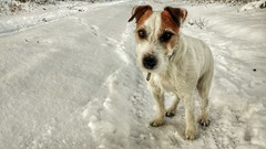 Baby it's cold outside... (Oliver Kuehne) Tags: anton jackrussellterrier snow schnee winter hiver bayern bavaria germany lgg5 dog hund chien