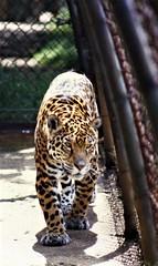 Leopard at Edinburgh Zoo (Gilli8888) Tags: leopard cat feline zoo edinburghzoo edinburgh bigcats mammal
