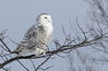 Snowy Owl (James Lees Photography) Tags: owl owls snowyowl bird nature wildlife winter ontario canada canadianwildlife