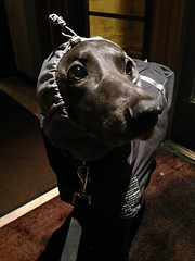 Keep it warm! (VanaTulsi) Tags: vanatulsi weim weimaraner dog blueweim blueweimaraner