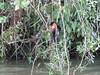 IMG_9010 (dstylebda) Tags: colonpanama gatunlake tamarins howlermonkeys sloth