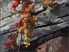 Ice Wine (Konny ;-))) Tags: icewine vine grapevine grapes eiswein weinrebe rebe weinstock rebstock weintrauben uva uvabianca vino vinodighiaccio vinoottenuto vite vindiglace raisin vigne vinblanc vides viñedos viña vinodehielo vinhobranco videira vinho vendangestardives