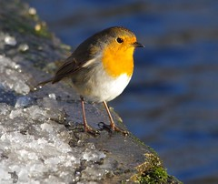 robin  (6) (Simon Dell Photography) Tags: simon dell photography sheffield castleton derbyshire snow 2017 friday 13th january peak district photos old new landscapes wildlife nature animals birds wild scenes buildings village awsome sunlight first winter robin red breast bird cute close up macro detail classic snowy image ground
