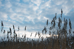 Spikelets (Apercoat) Tags: straw grass cereals rye sky blue cloud clouds sun through winter spica spikelets