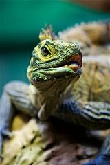 Wotyoulookinat?? (radio4) Tags: sailfinlizard hydrosauruspustulatus lizard reptile tarongazoo sydney nsw australia