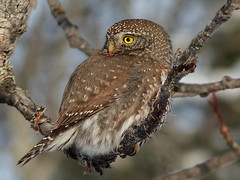 Northern Pygmy-owl (annkelliott) Tags: alberta canada swofcalgary seenaftersheepriverchristmasbirdcount2016 nature ornithology avian bird birds owl northernpygmyowl glaucidiumgnoma birdofprey perched tree branch sideview popcansized fistsized hunting predator ferocioushunter outdoor winter 27december2016 fz200 fz2004 annkelliott anneelliott ©anneelliott2016 ©allrightsreserved