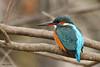 Martin-Pêcheur 170112-15-RP (paul.vetter) Tags: oiseau ornithologie ornithology faune animal bird martinpêcheur alcedoatthis eisvogel kingfisher