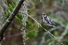 Downy Woodpecker (M. Coppola) Tags: hillsborough downywoodpecker picoidespubescens florida