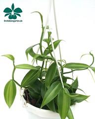 Vanilla planifolia variegatum #orchids #Orchidee #Orchideen #OrchIDEENgarten #orquídea #orquídeas #nature #naturelovers #iloveorchids #love #happy #flower #flowers #flowersofinstagram #flowerstagram #instagood #instalike #orchidsofinstagram #orchidstagram (orchideengartenkarge) Tags: orchid orchids orchideengarten flowers flower blume blumen orchideen flores orquideas orkideer