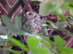 097 Pearl Spotted Owlet (Magic Moments by Pippa) Tags: southafrica kruger nature nikon p900 birds birdsofprey owl pearl spotted owlet wildlife
