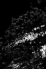 DSC08824 (@saka) Tags: autoupload leaves 599602 flowers 43324338 trees 52 street 4751