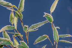 frost on bamboo leaves (A.D.B. Photography) Tags: bamboo leaves frost winter cold ice bluesky seasons outdoor foliage plant apictureaday 2017challenge